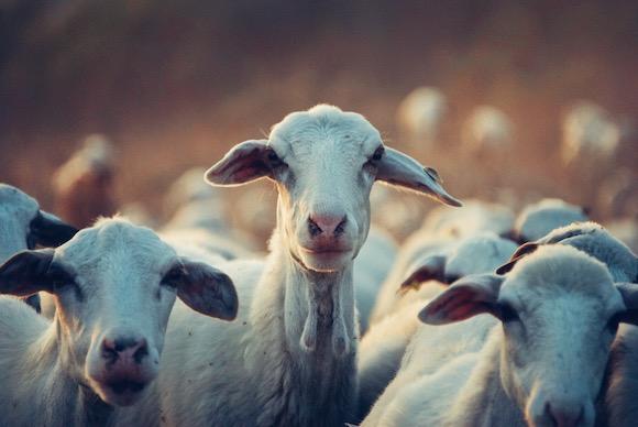 Shepherding vs Sheep Herding